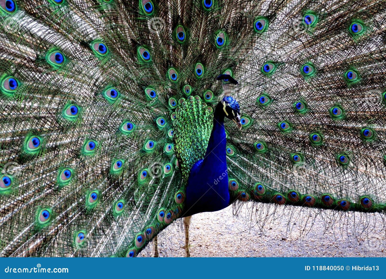 Schönes Porträt des Pfaus mit Federn heraus