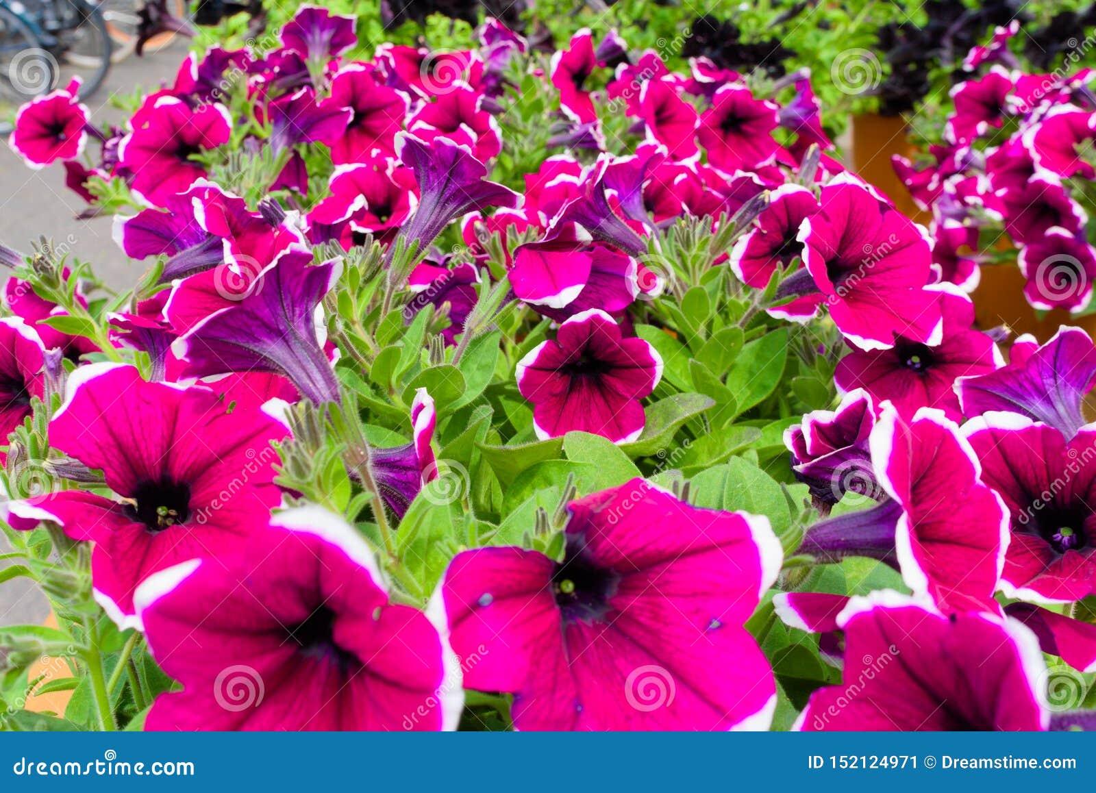 Schönes purpurrotes rosa Blumenblühen