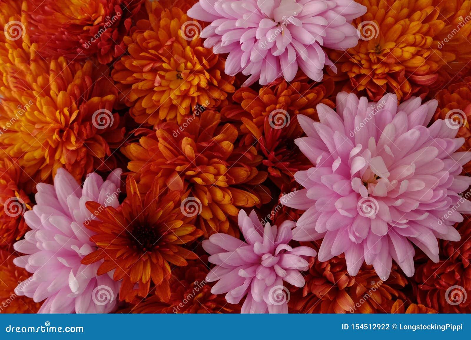 Schönes Rosa und rote Chrysanthemenblumen in voller Blüte, blumige Beschaffenheit für Hintergrund Einfach zu bearbeiten und zu ?n