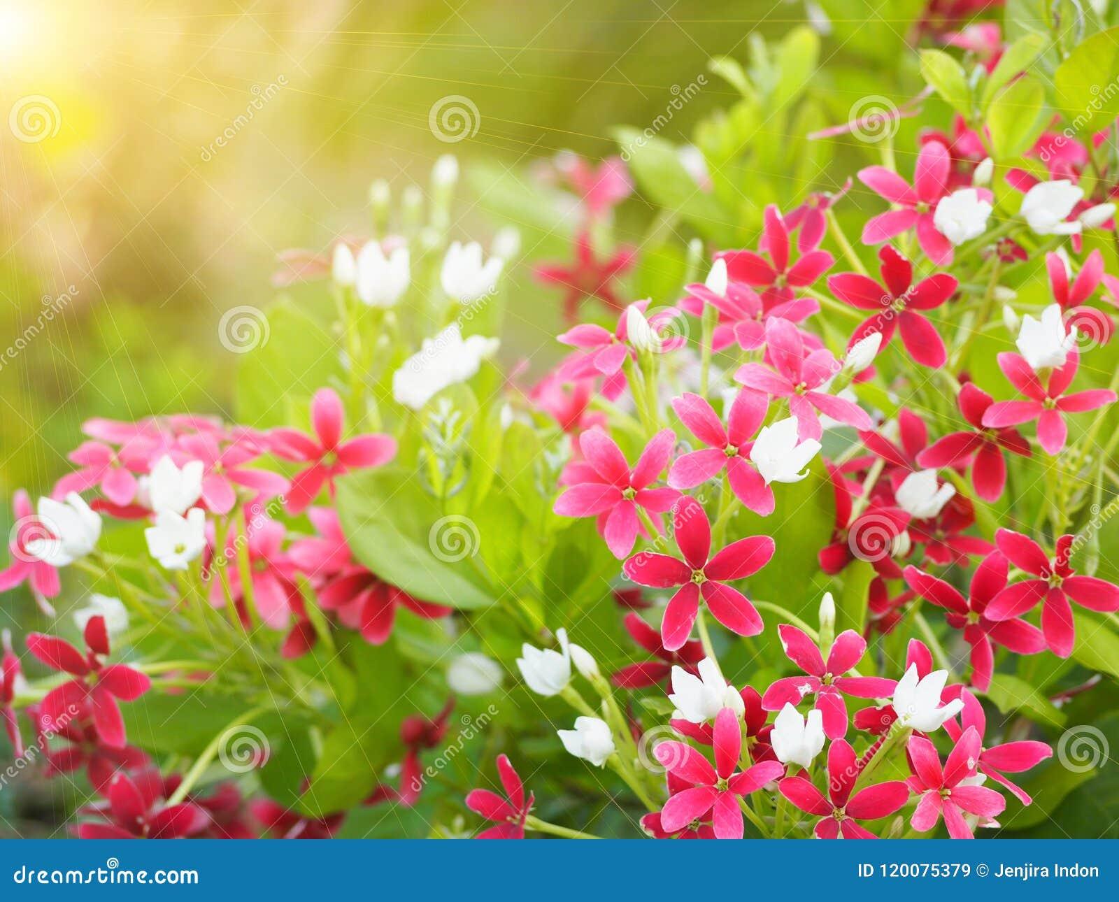 Schönes Rosa von Rangun-Kriechpflanzenblumen