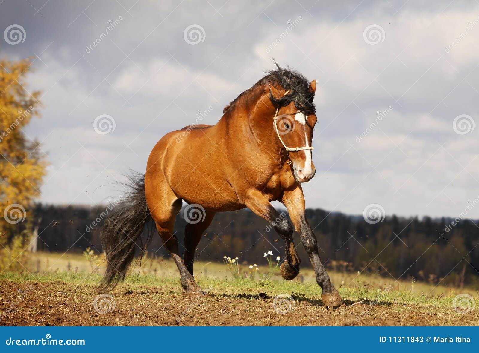 Schönes Stalliongaloppieren