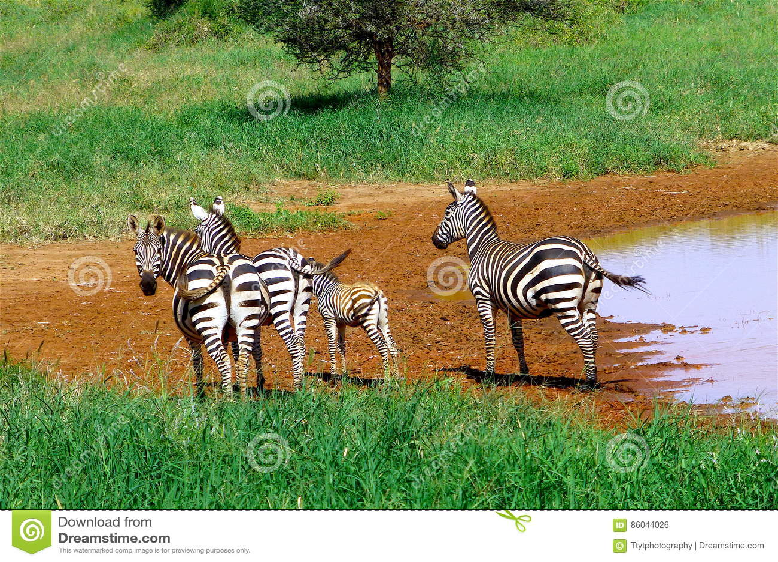 Schönes Tier von Kenia - das Zebra