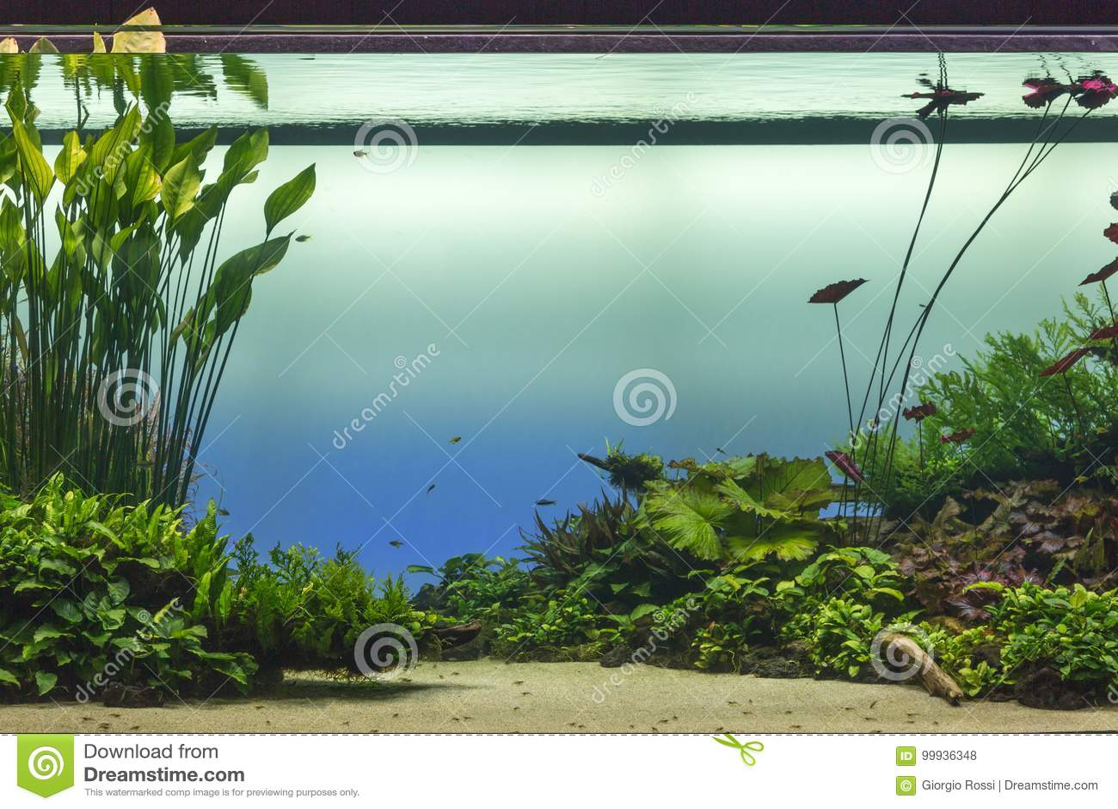 Schönes tropisches Frischwasseraquarium mit Grünpflanzen und Fis