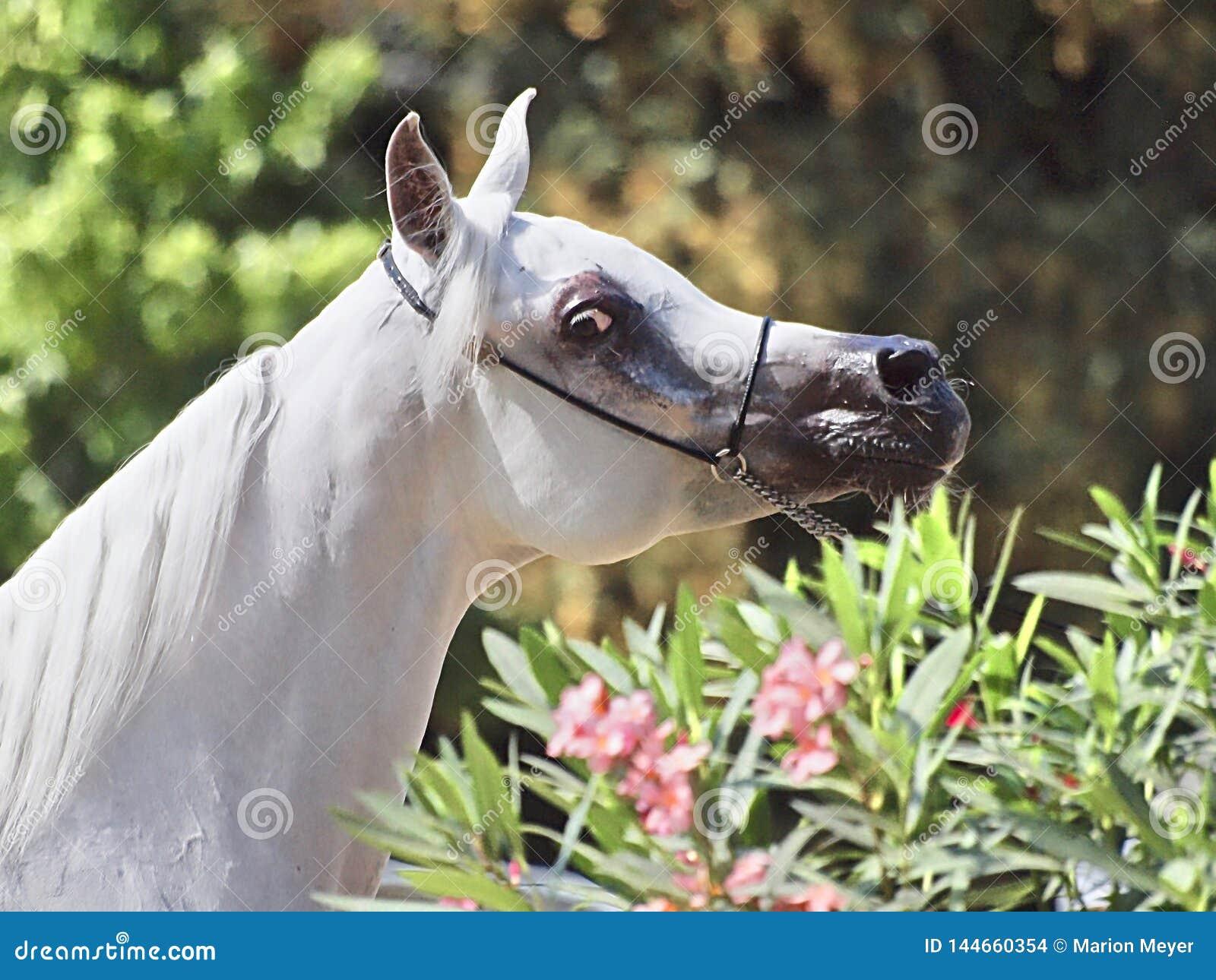 Schönes weißes ägyptisches arabisches Pferd