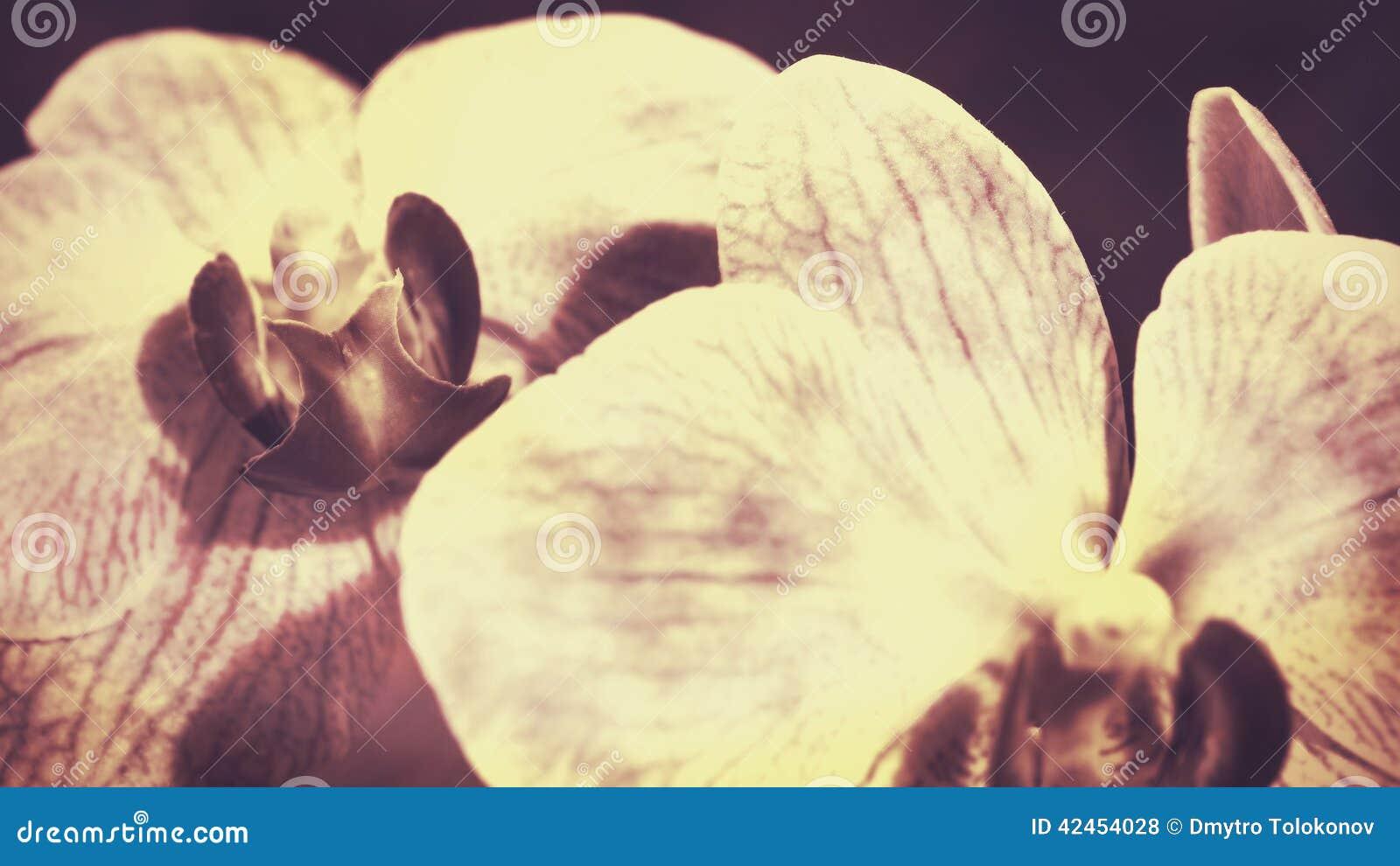 Schönheitsorchidee