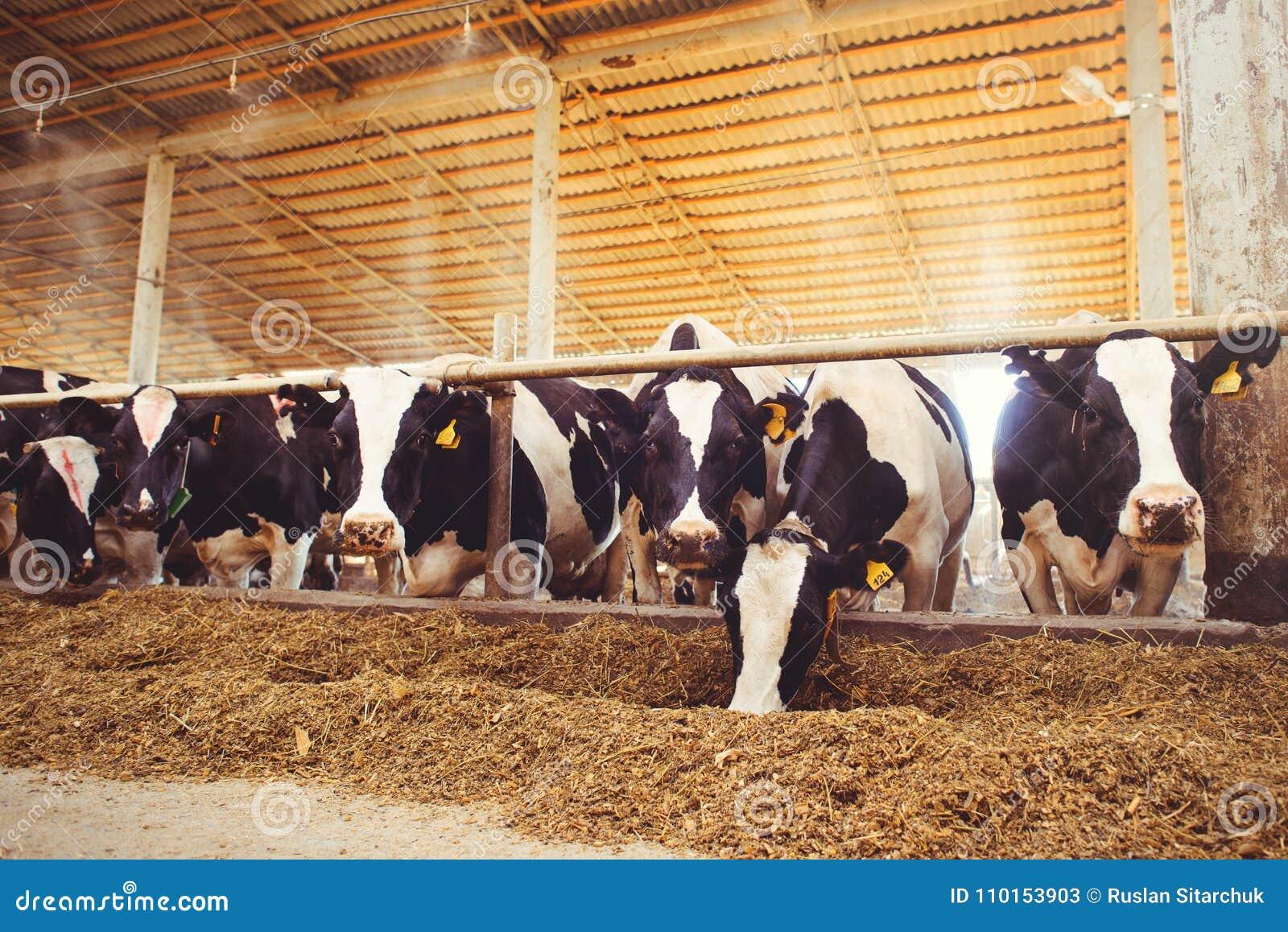 Schüchtern Sie Bauernhofkonzept der Landwirtschaft, die Landwirtschaft und Viehbestand - eine Herde von Kühen ein, die Heu in ein