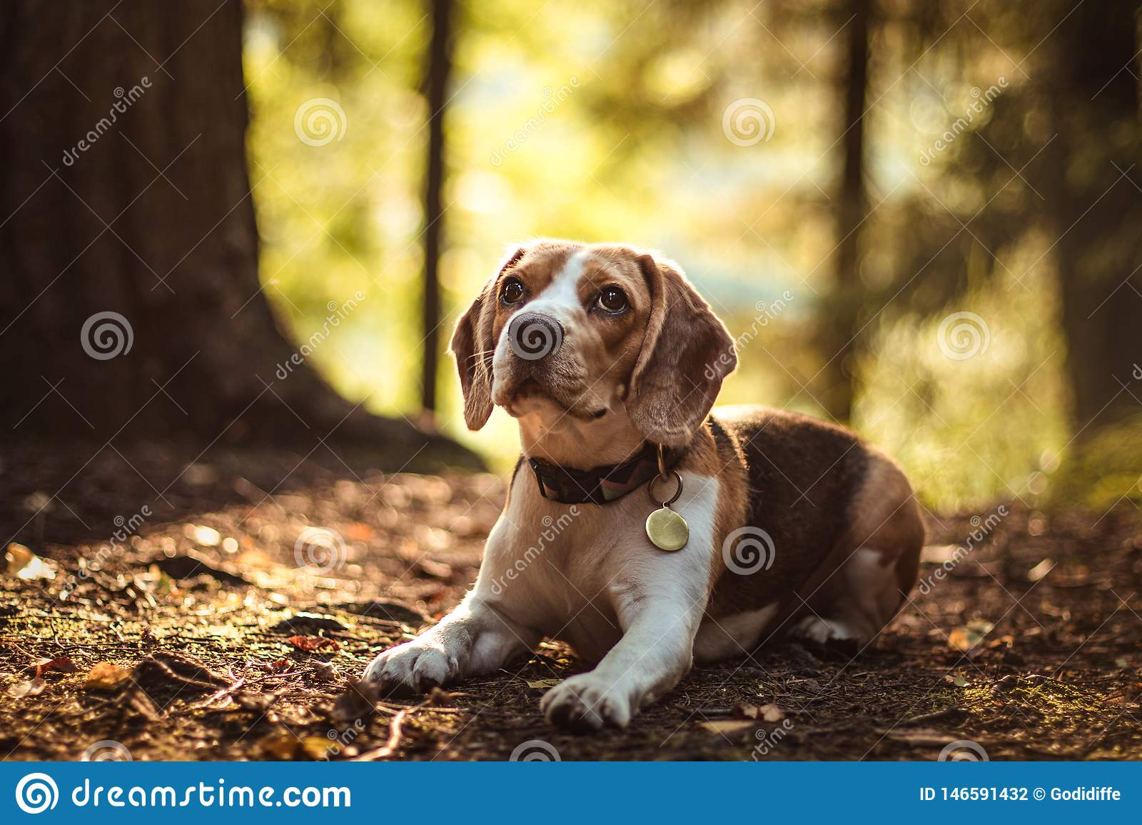 Sch?ner Sp?rhundjagdhund mit Hintergrund mit Raum f?r etwas