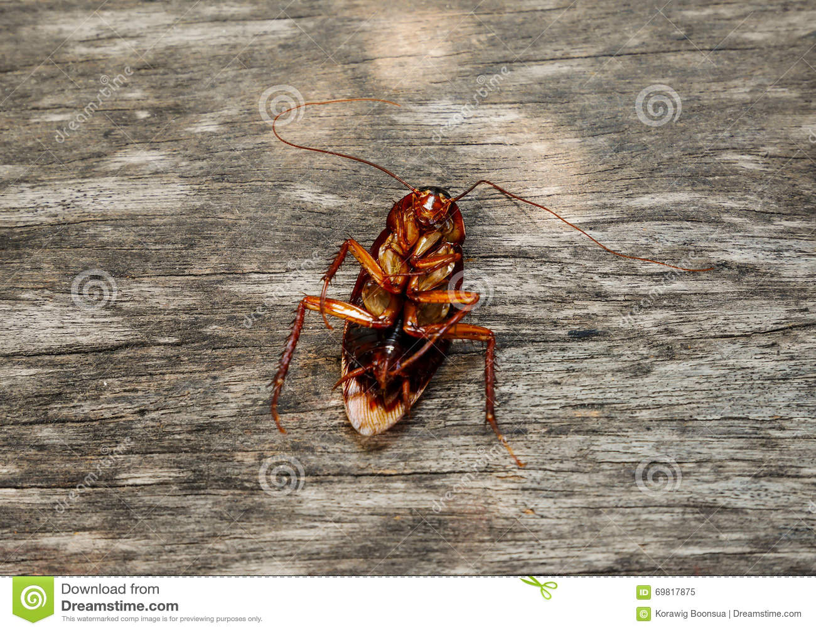 Schabe Tot Stockbild Bild Von Makro Insekt Schwarzes 69817875
