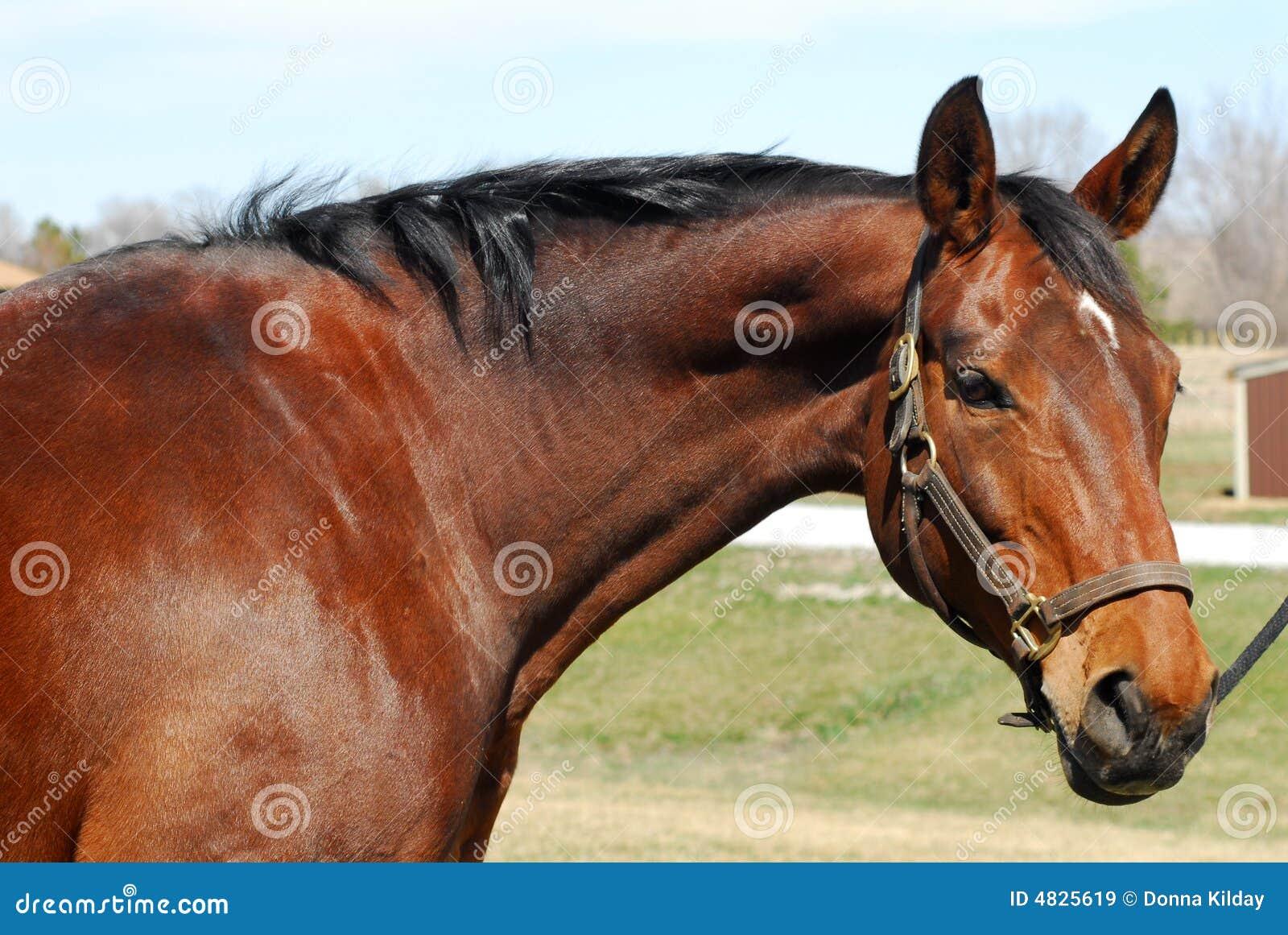 Schacht-Pferdenportrait