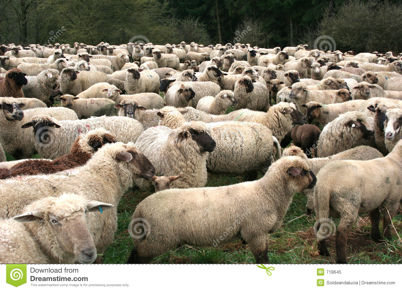 Schaf-Herde Lizenzfreies Stockfoto - Bild: 718645   {Herde 31}