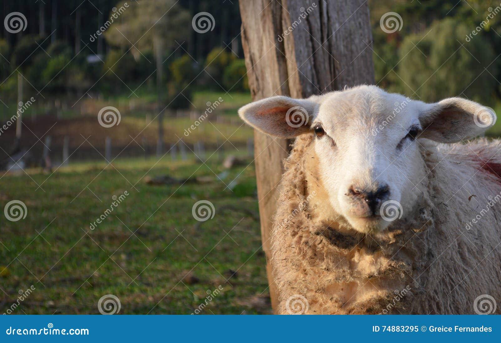 Schafaufstellung