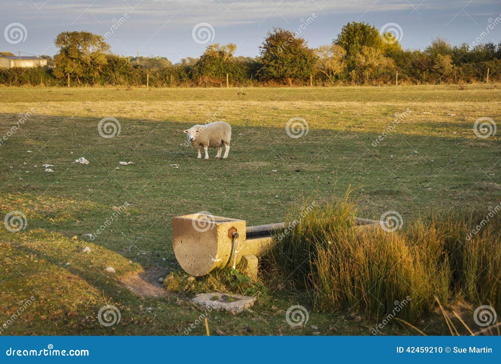 Schafe auf dem Sumpf