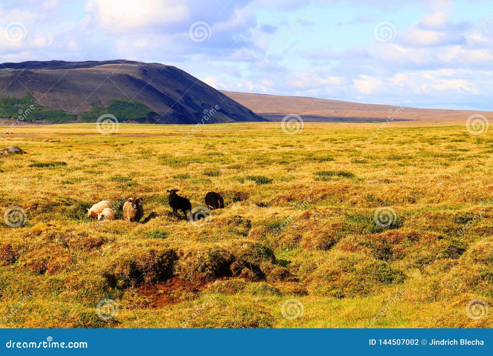 Schafe auf Weide nahe Hvitarnes-H?tte, Island