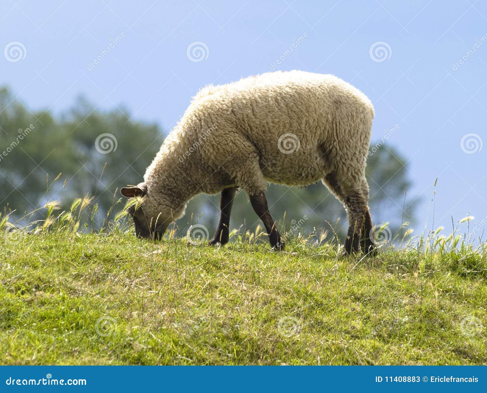 Schafe in den Wiesen