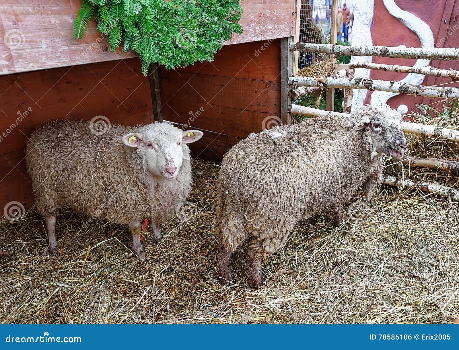 Schafe In Der Alten Stadt Von Riga Am Weihnachten Stockfoto - Bild ...