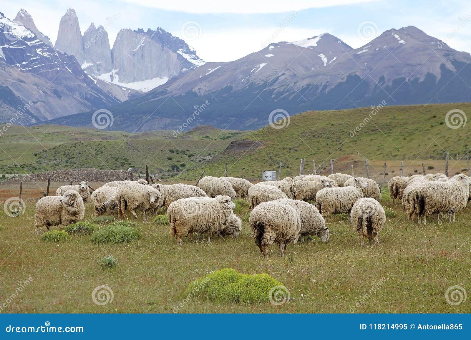 Schafe an der Ranch im Patagonia in Magallanes-Region, Süd-Chile