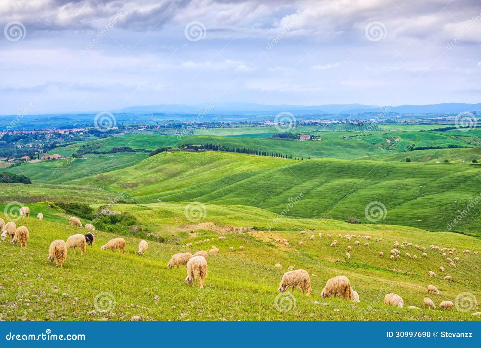 Schafe, die auf den grünen Gebieten in Orcia-Tal, Siena, Toskana, Italien weiden lassen