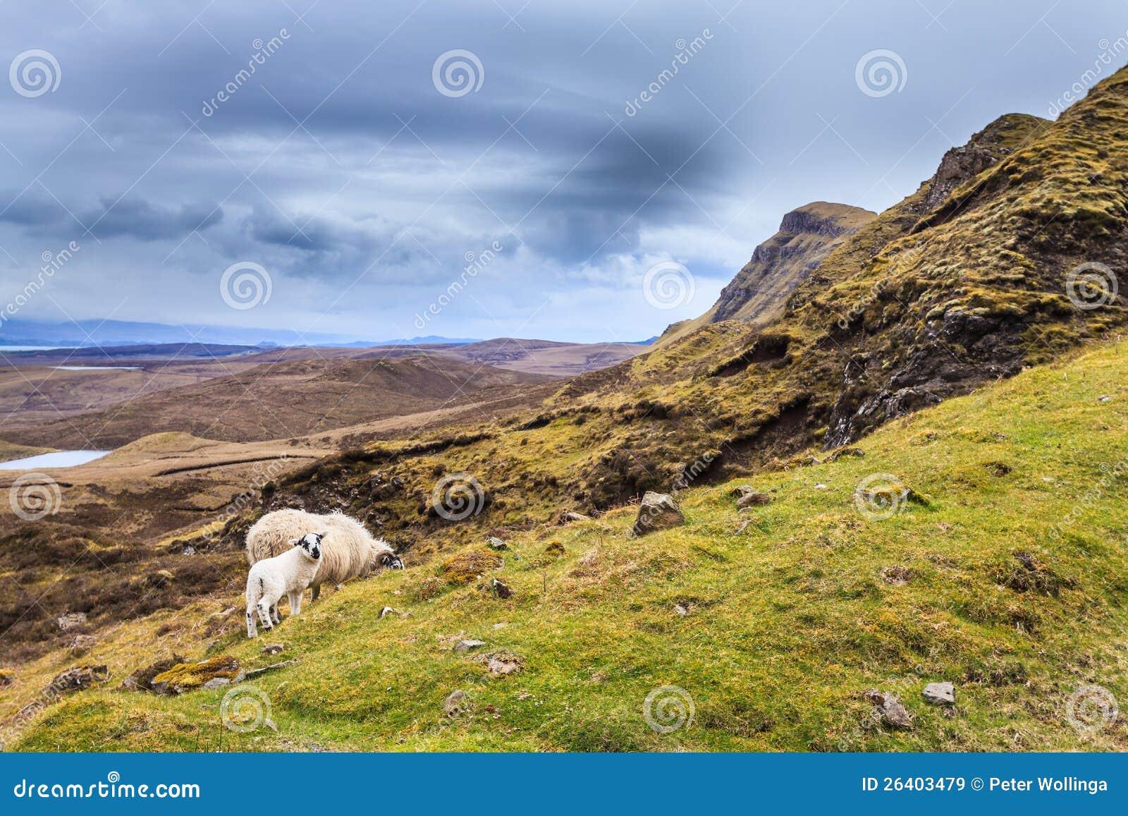 Schafe, die in den Hochländern weiden lassen