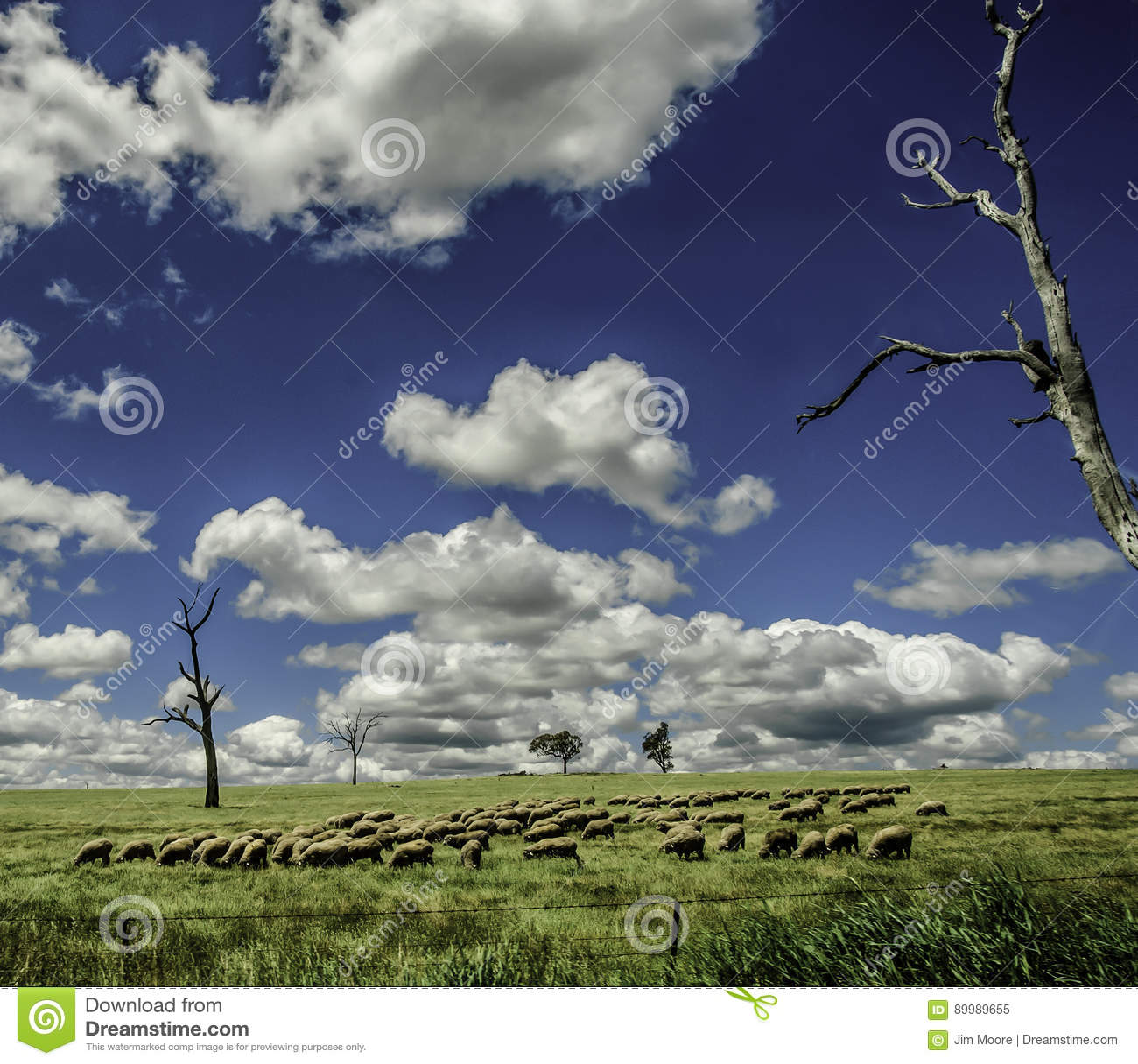 Schafe Graze Under Blue Skies in New South Wales Australien
