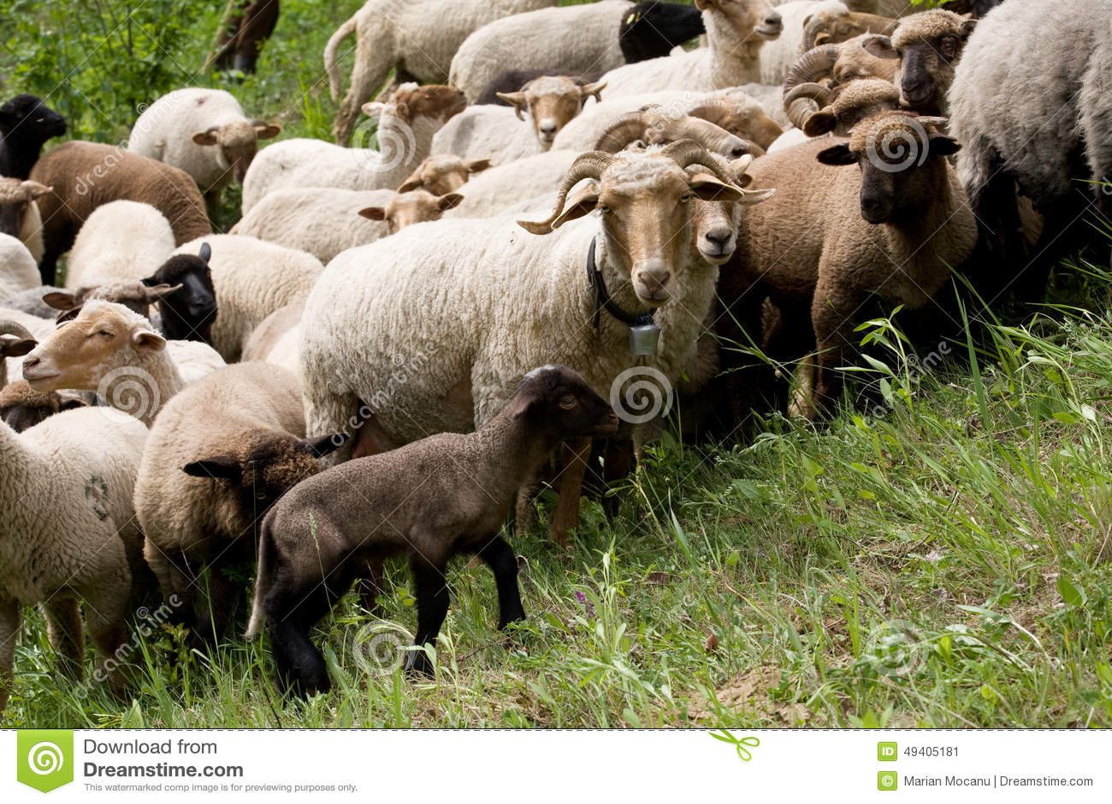 Download Schafe hörten stockbild. Bild von bauernhof, gruppe, grün - 49405181