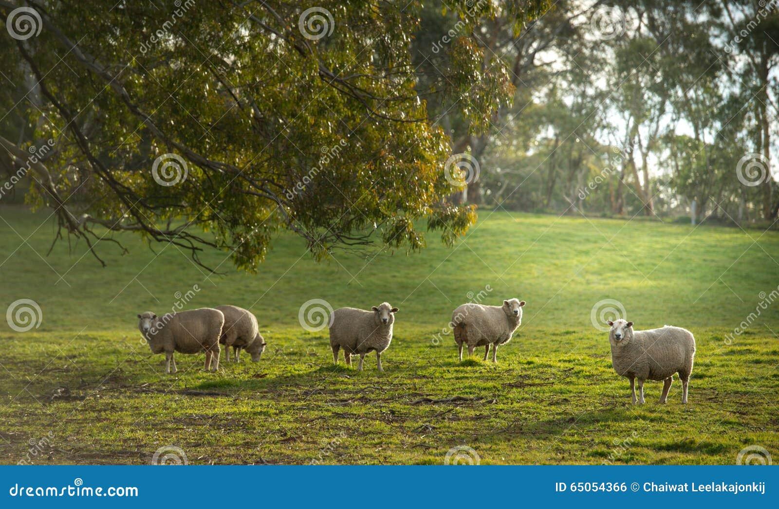 Schafe im Bauernhof