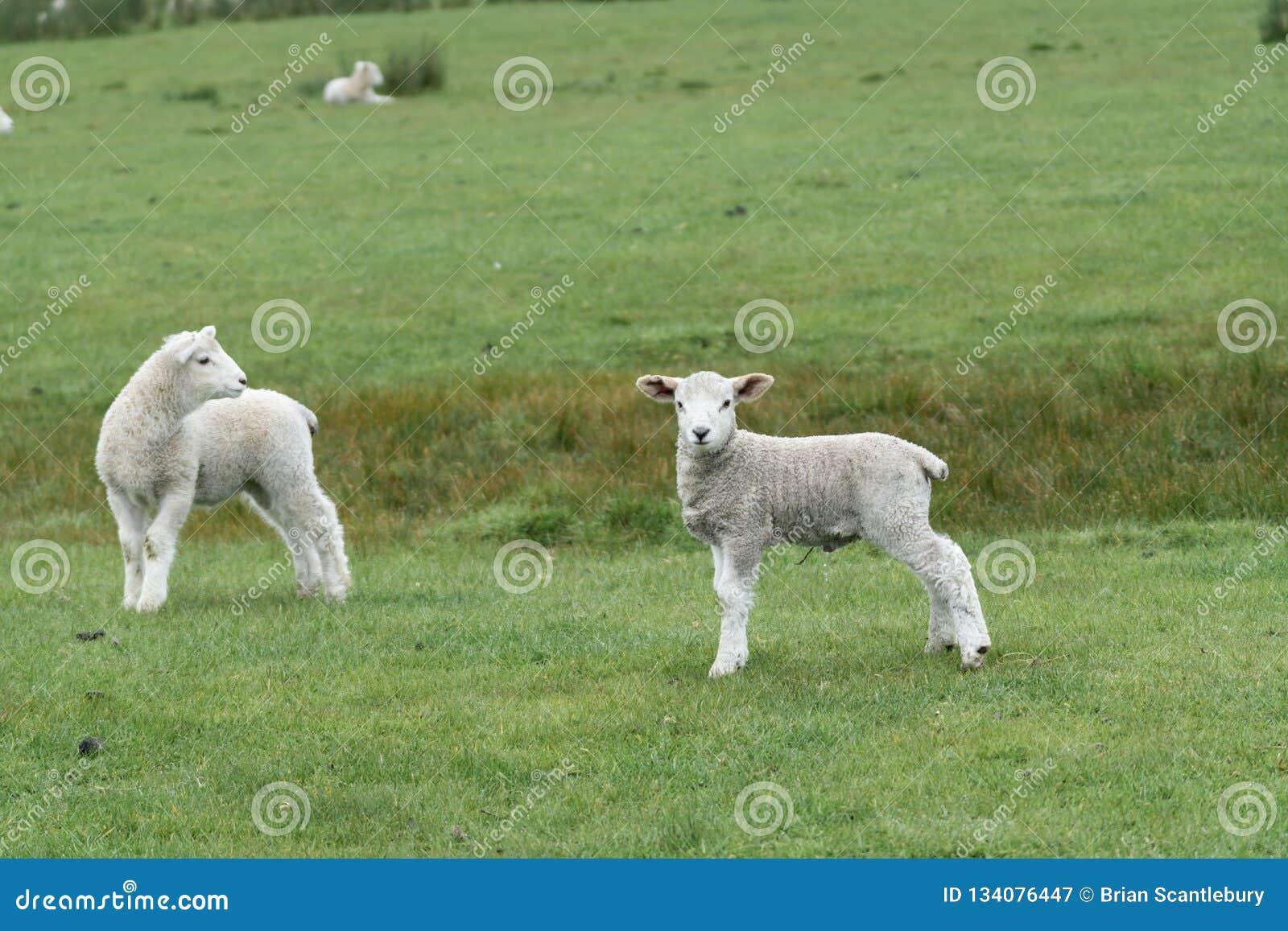 Schafe und neue Lämmer auf Bauernhof
