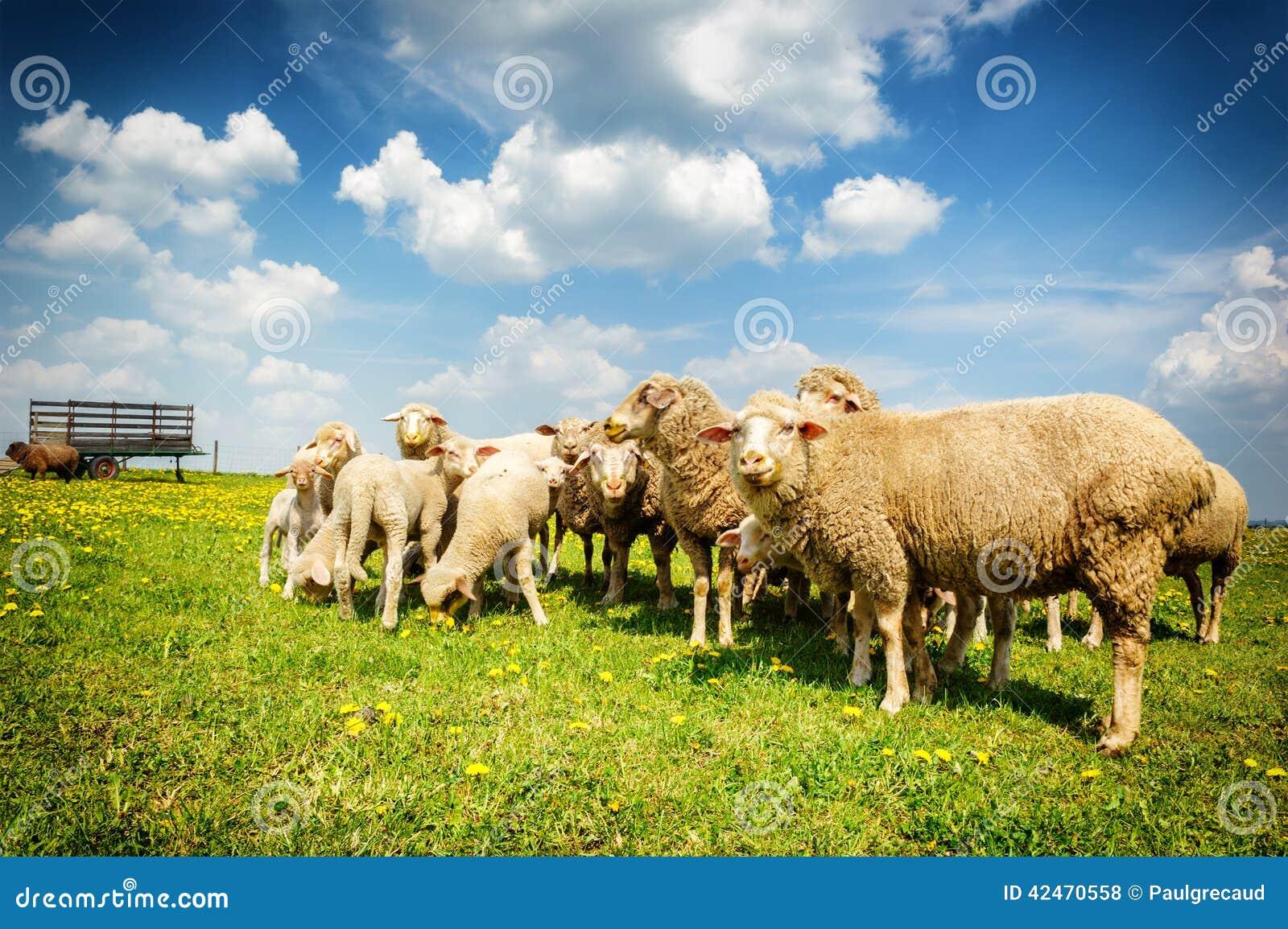 Schafherde am grünen Feld