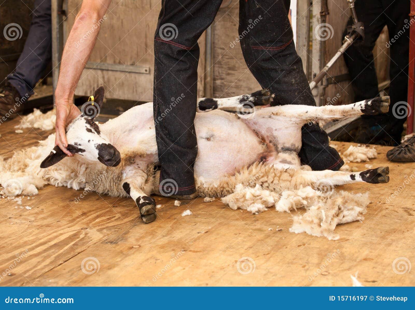 Schafscheren an der Messe