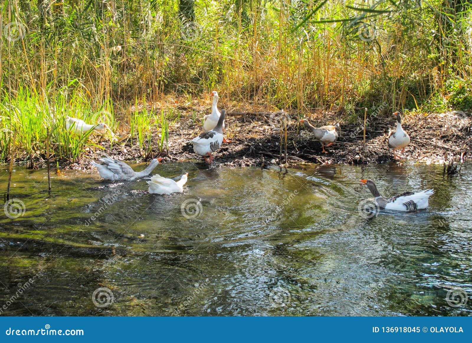 Schandaal in het bedrijf van eenden op de bank van de rivier in een zonnige dag