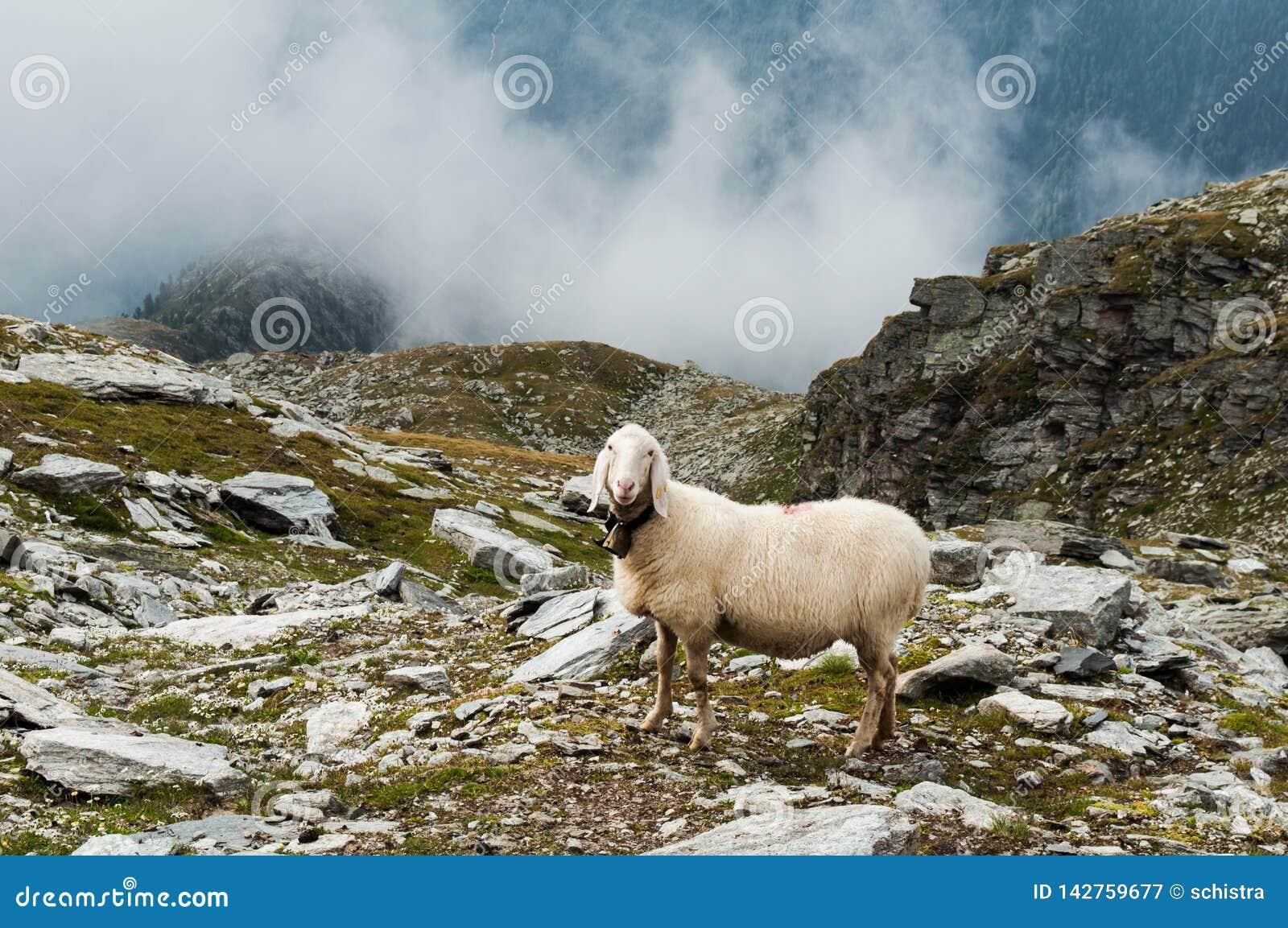 Schapen in de Italiaanse alpen, Trentino