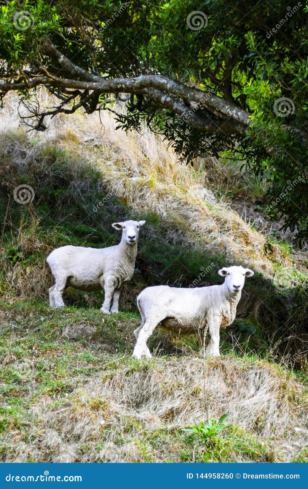 Schapen onder boom die naar camera op de heuvel van het plattelandslandbouwbedrijf in de zomer kijken