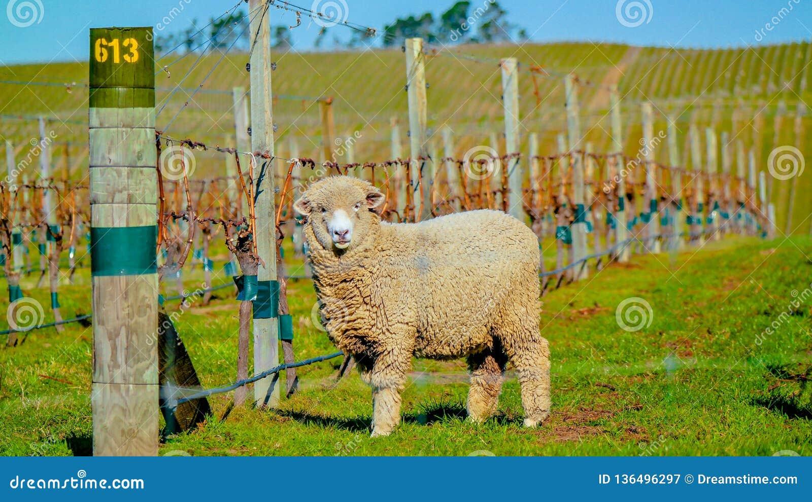 Schapen in Wijngaarden, Nieuw Zeeland