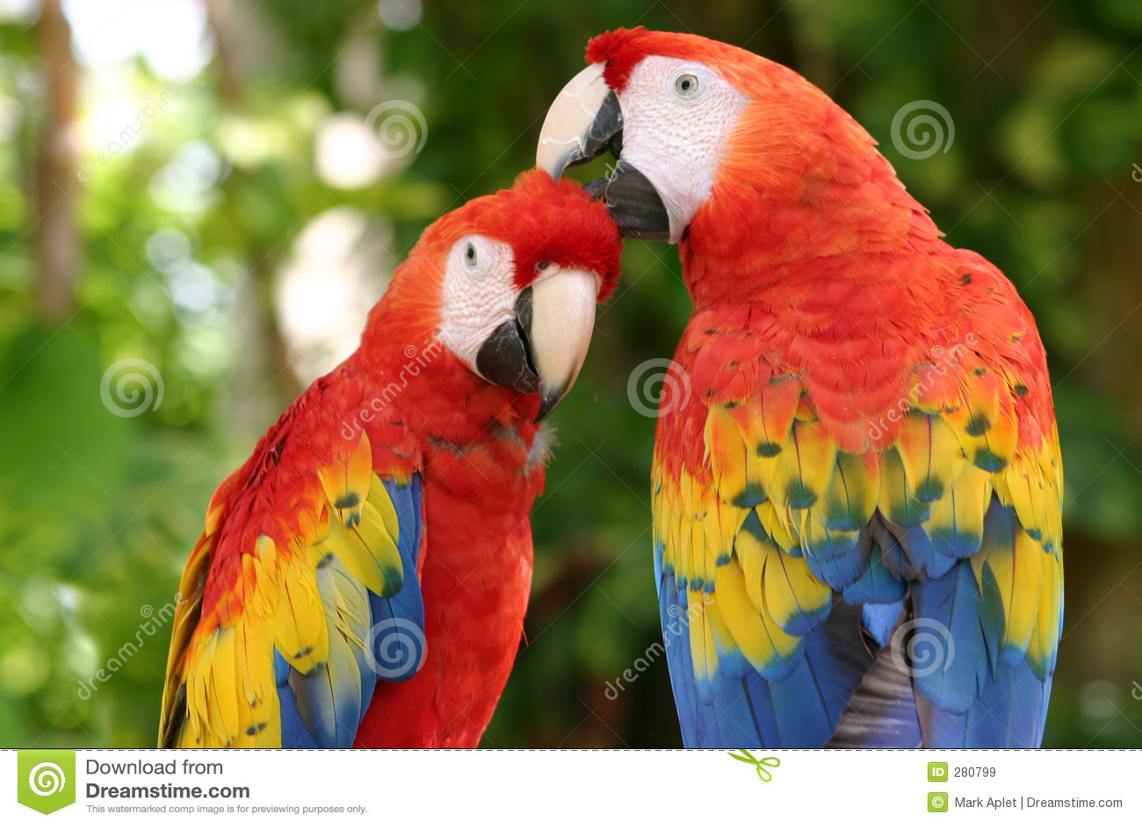 Scharlakansröda macaws
