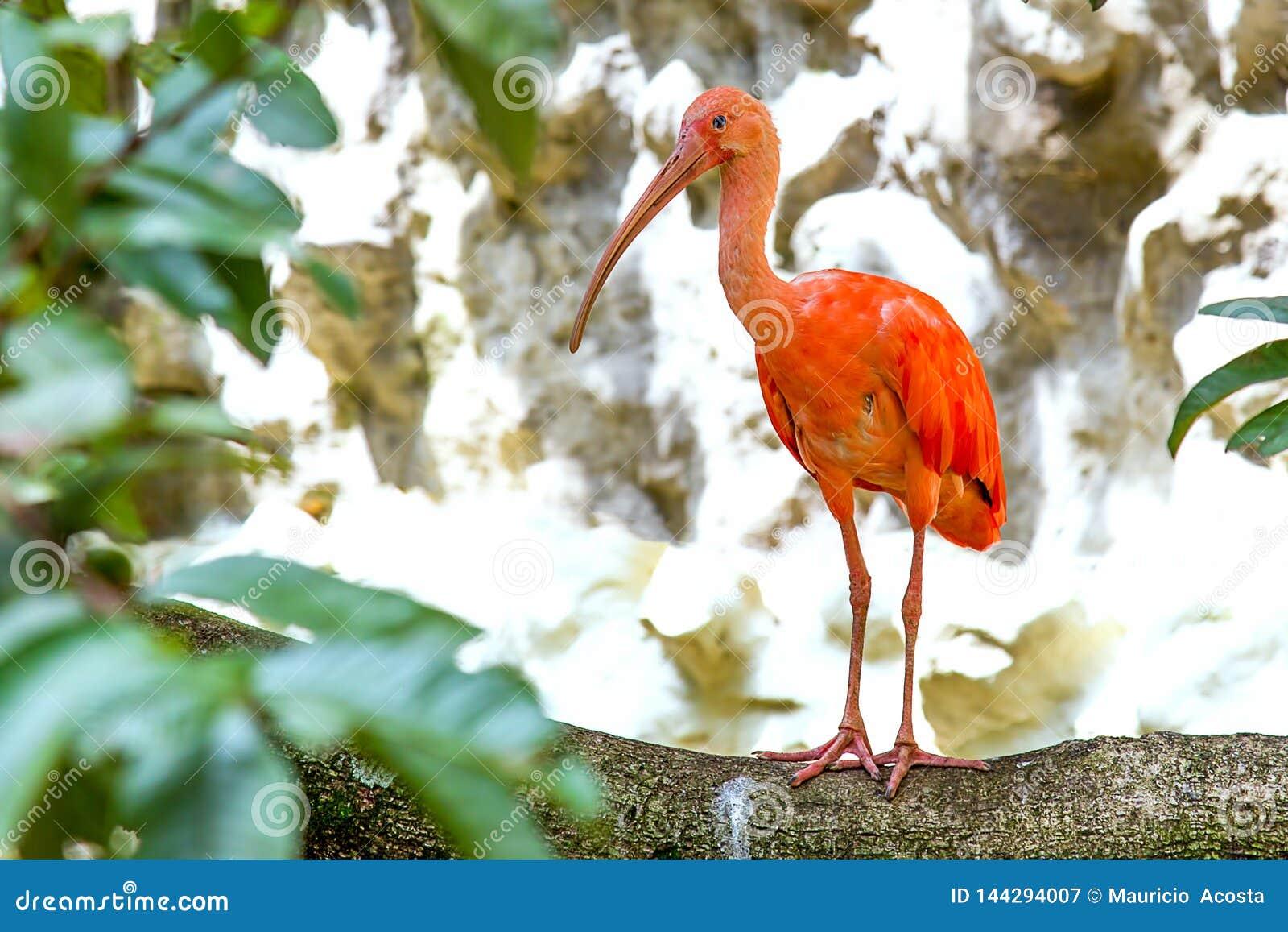 Scharlakansrött ibisanseende på en stor filial