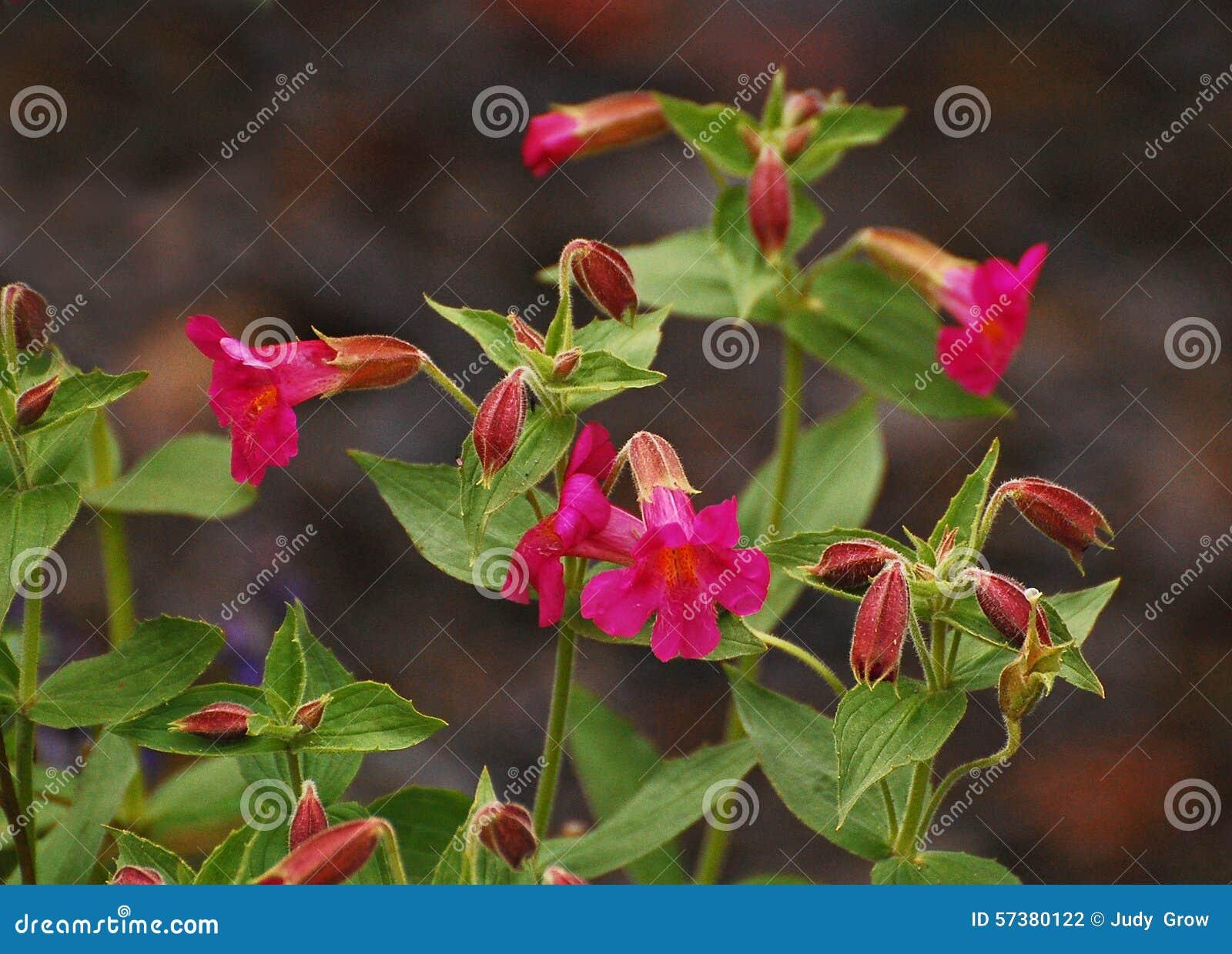 Scharlaken Monkeyflower