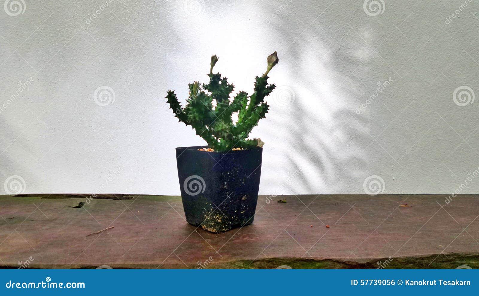 schatten des baums auf weißer wand und kaktus im blumentopf auf