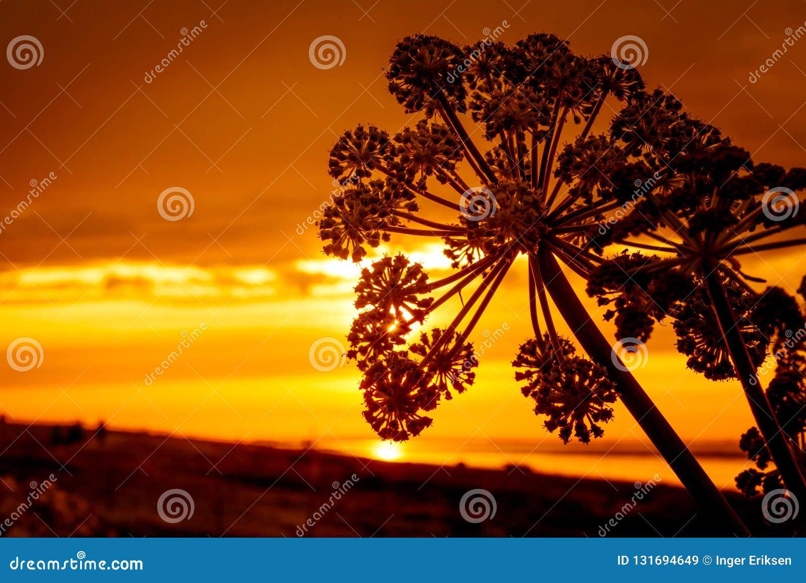 Schattenbild der Blume in einem goldenen Sonnenuntergang