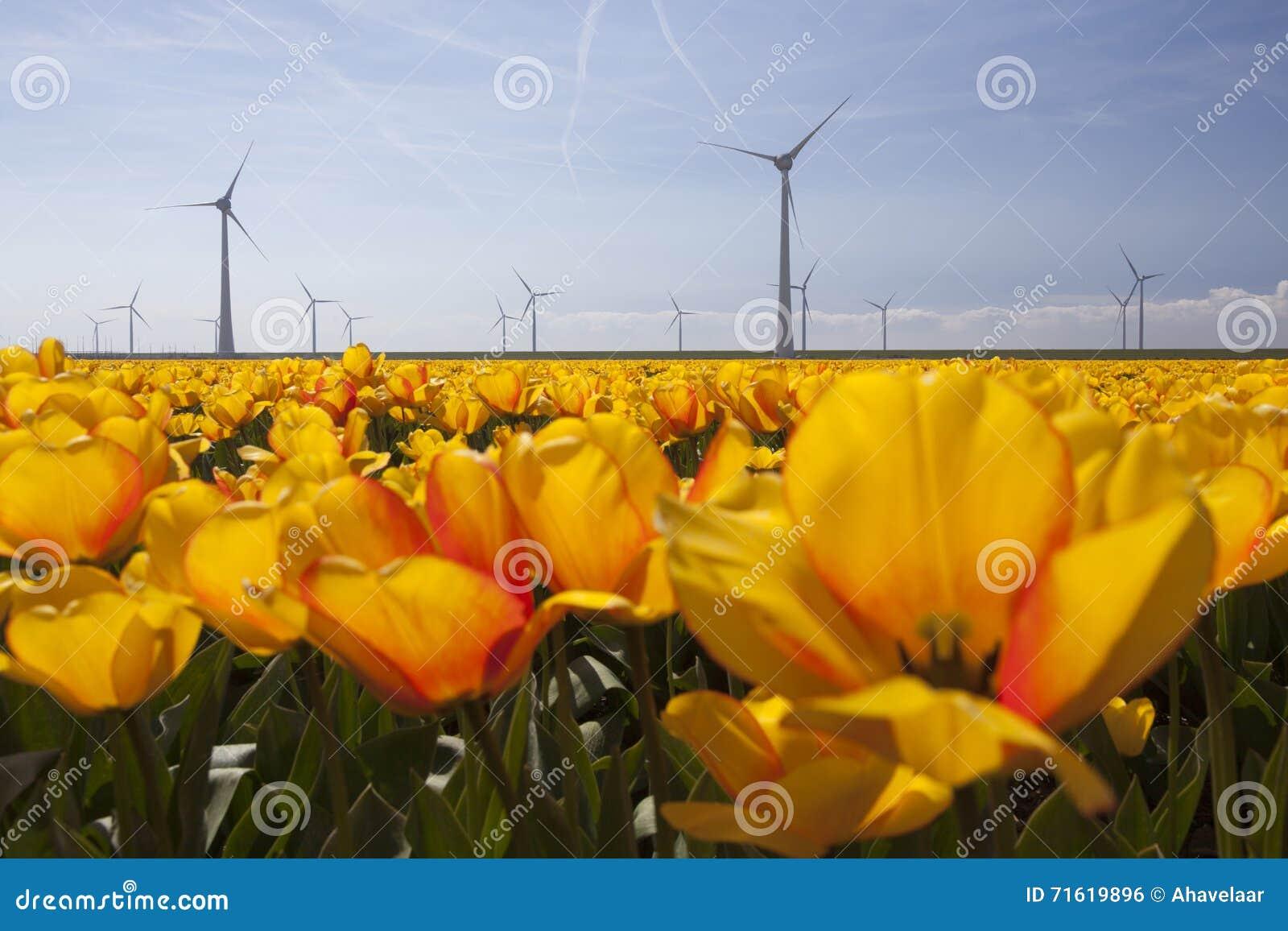 Schattenbild von Windkraftanlagen gegen blauen Himmel mit orange Tulpen
