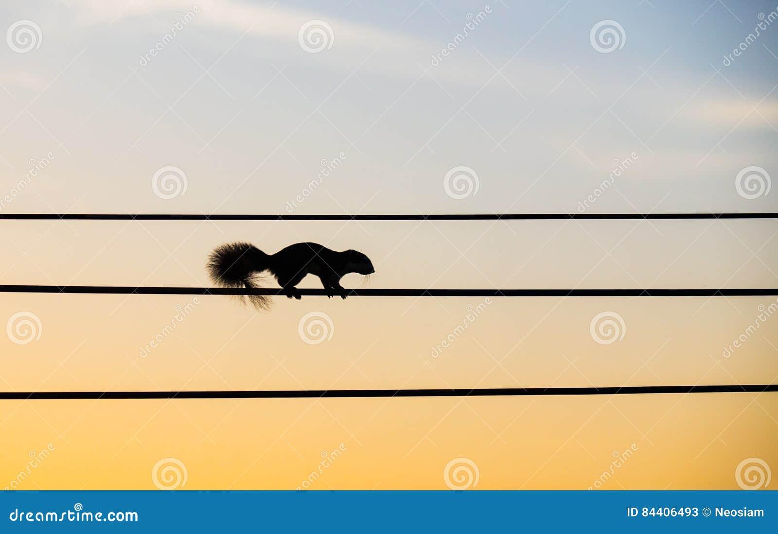 Schattenbildeichhörnchen, Das Auf Den Elektrischen Draht Geht ...