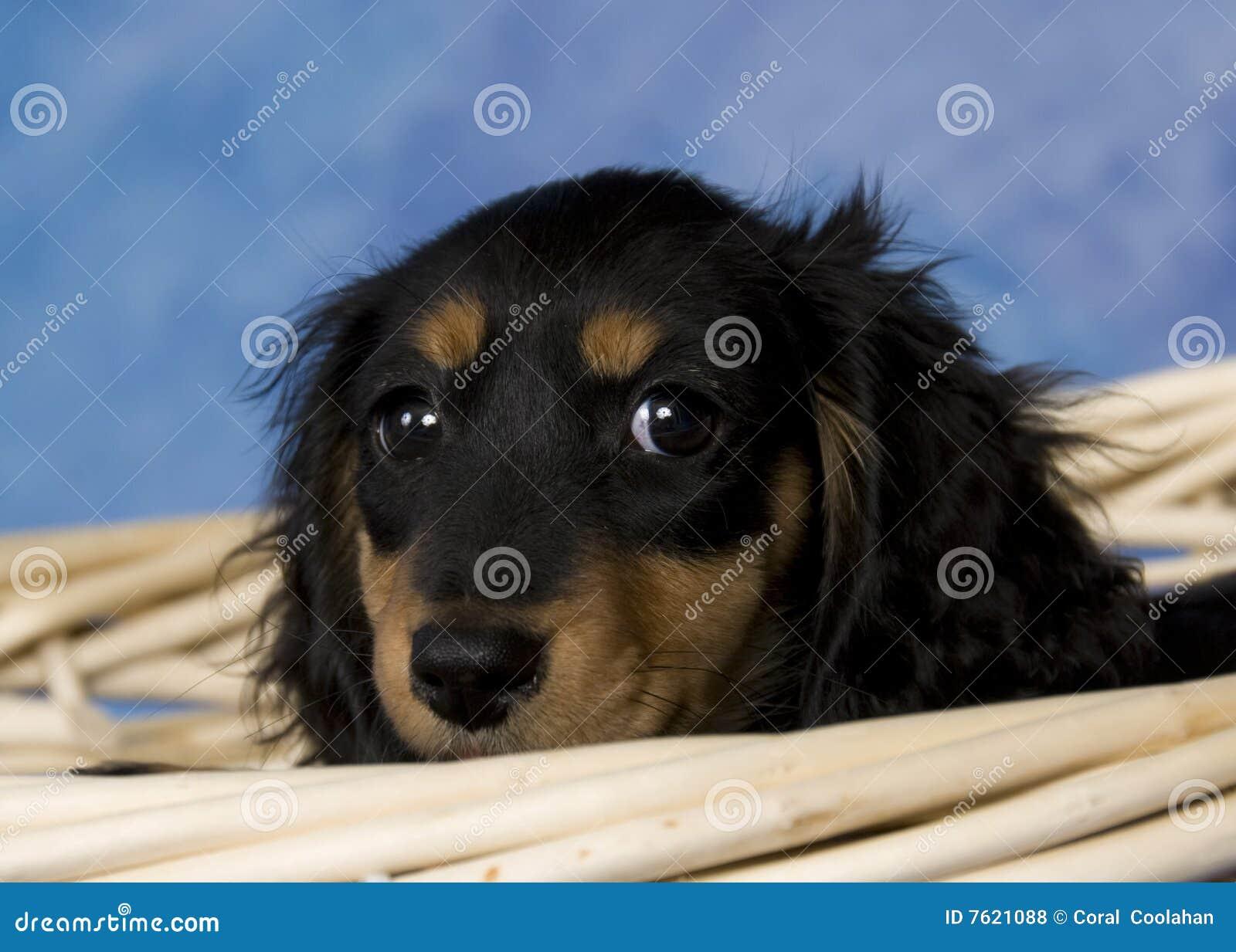 Schatzi, le dachshund miniature