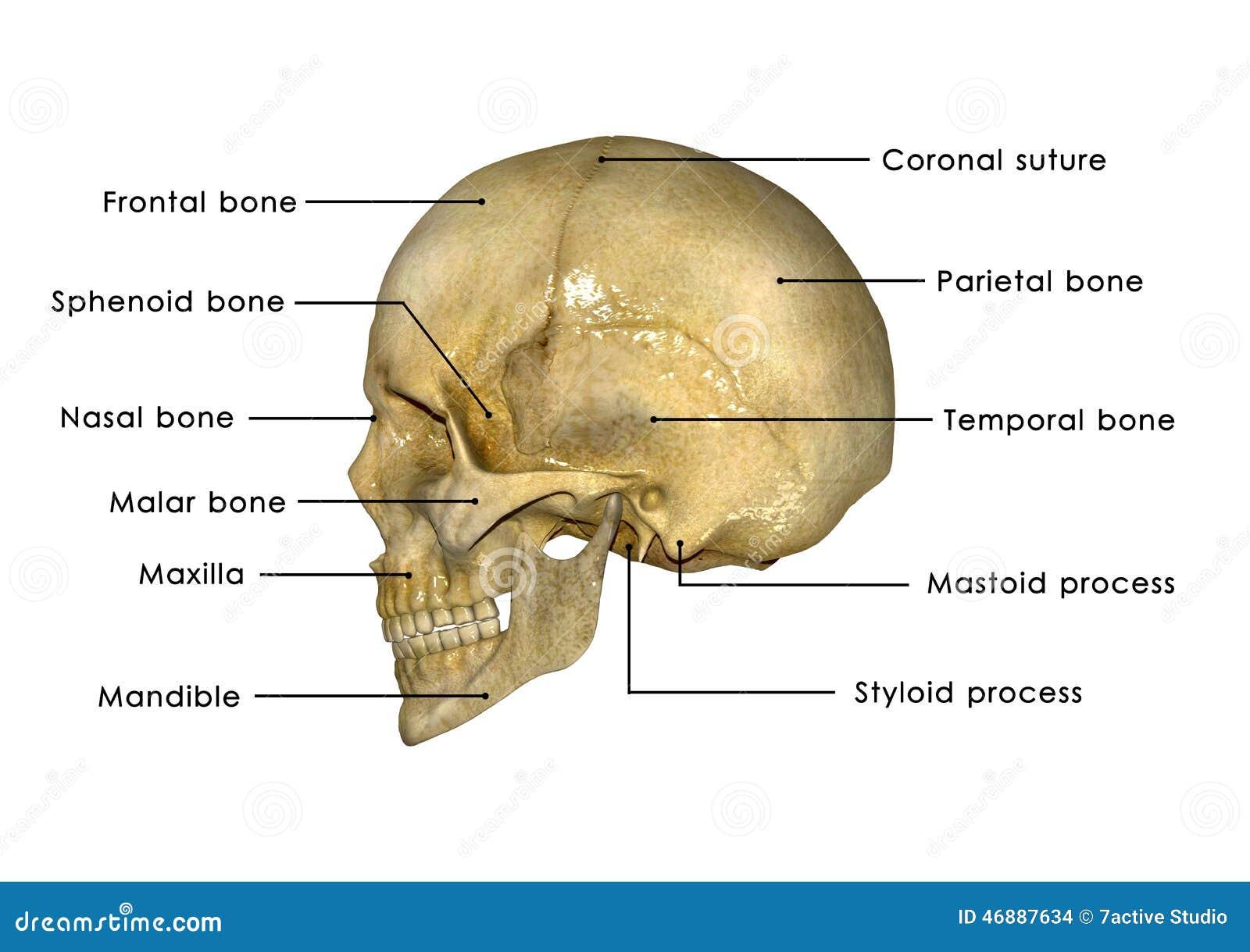 Картинки кости черепа