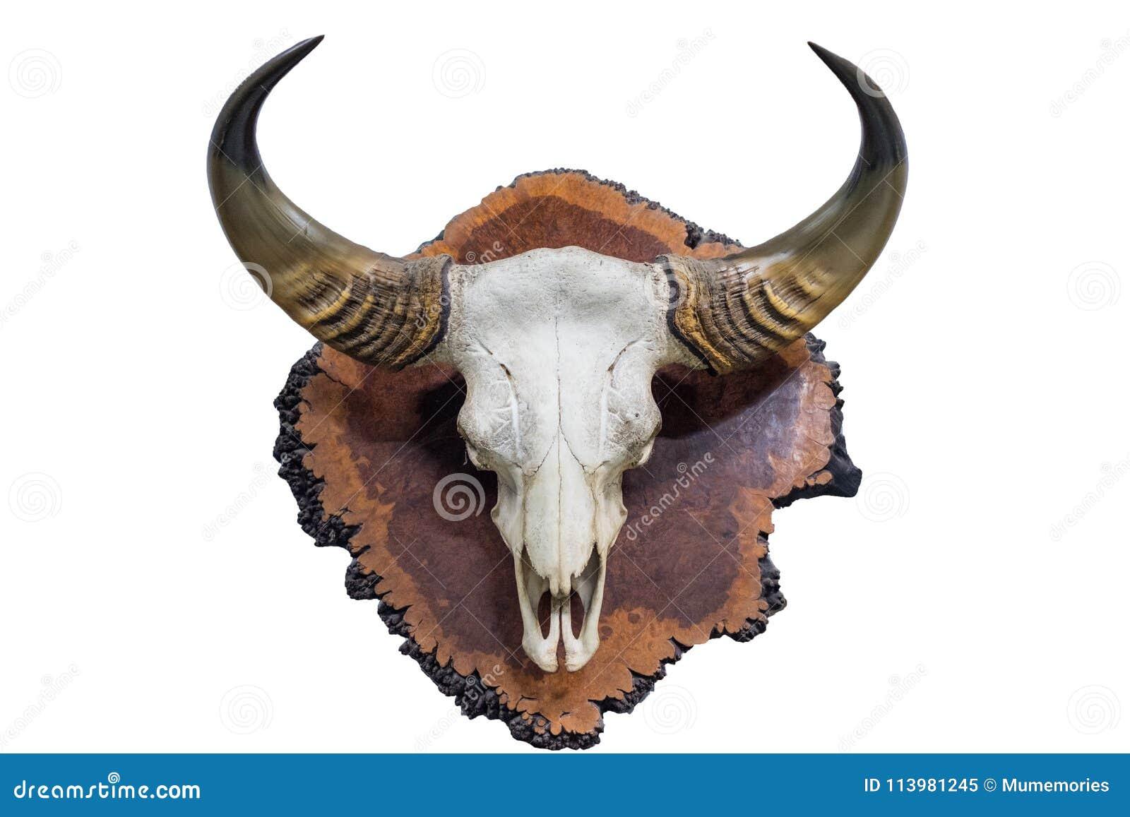 Schedel met hoornenbuffels op houten hout