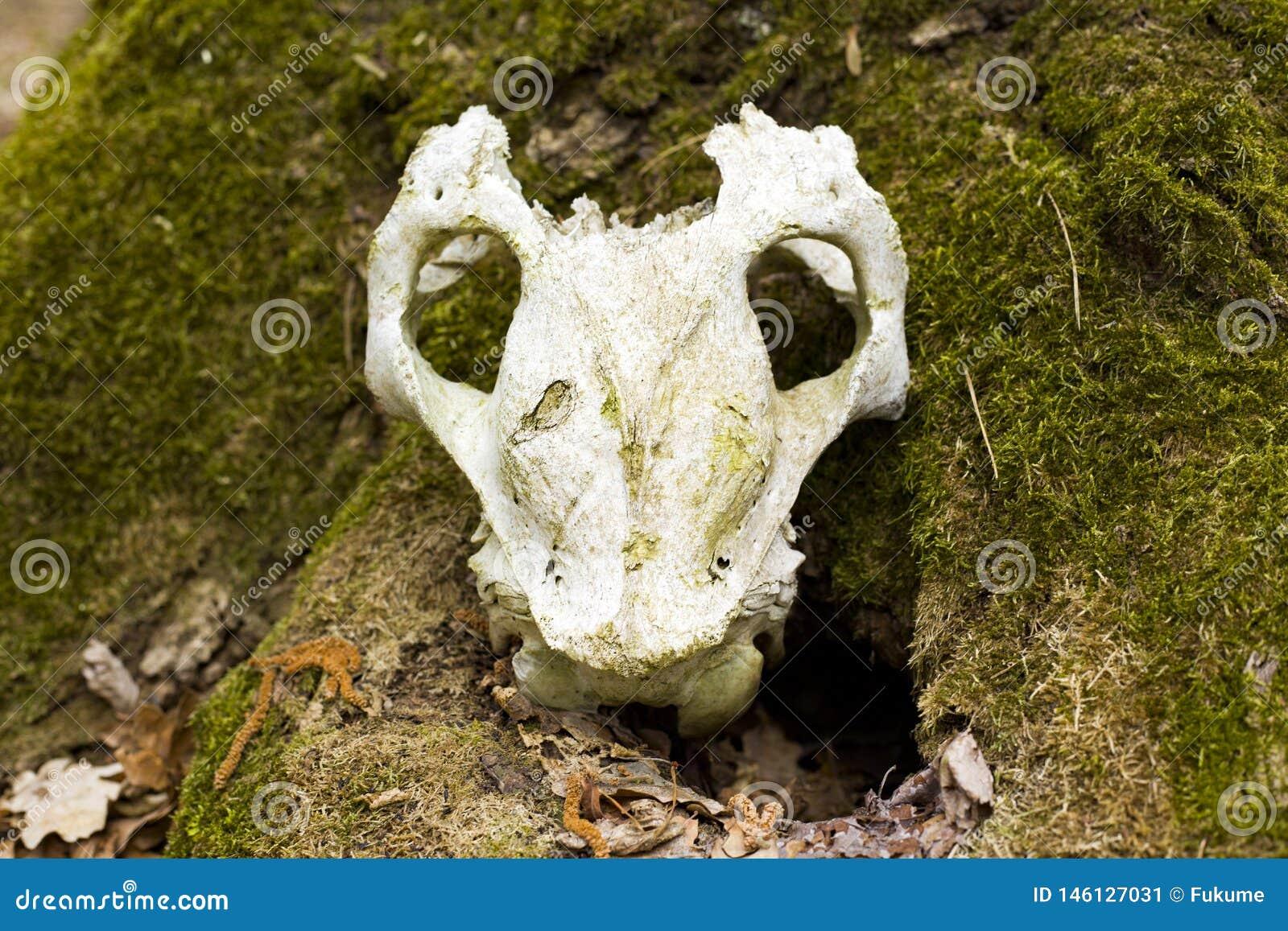 Schedel van een onbekend dier dat in het bos wordt gevonden