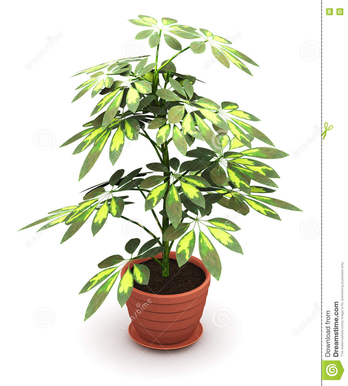 Schefflera Arboricola Plant In Flower Pot Stock