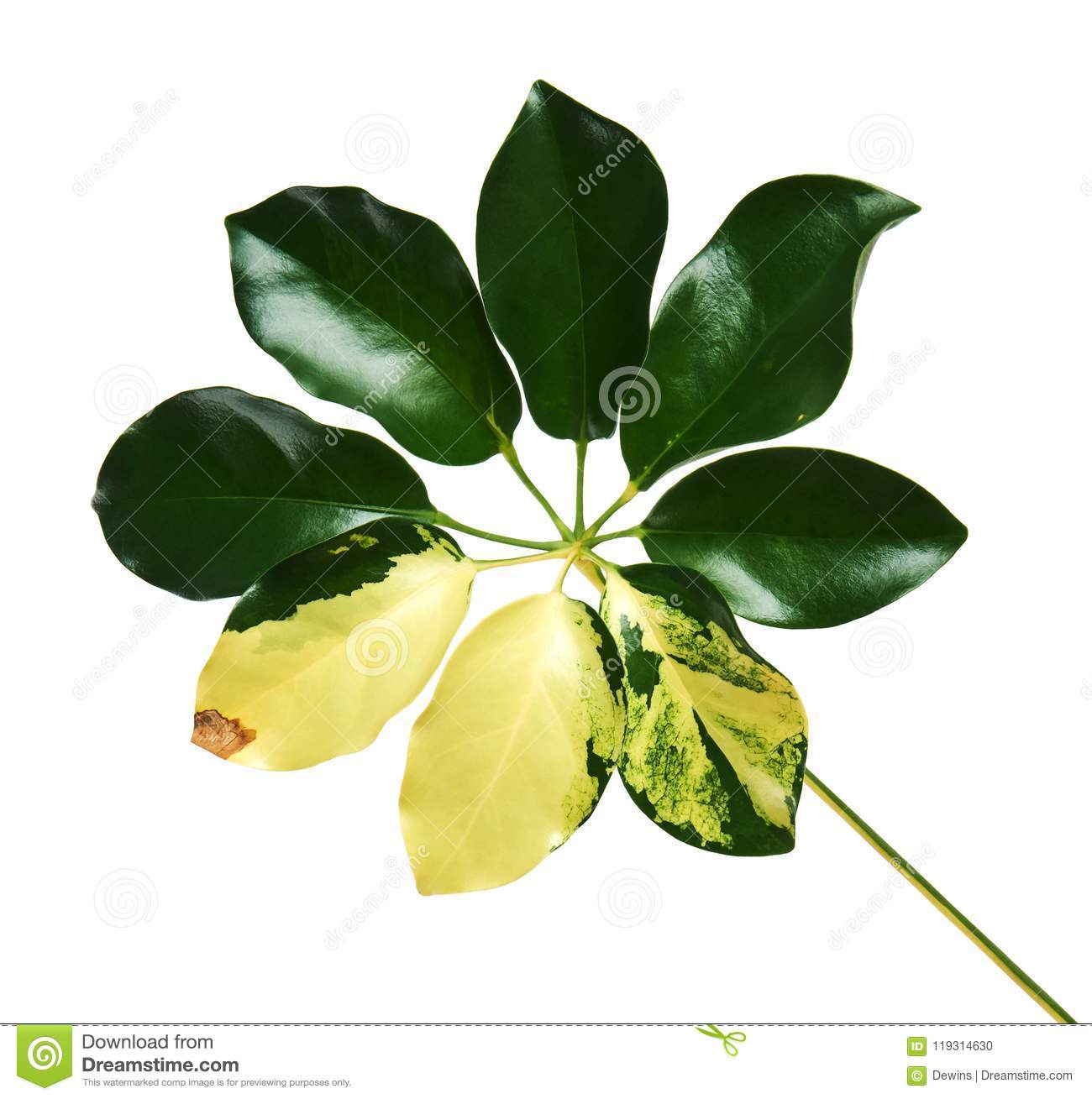 Schefflera variegated foliage `Gold Capella`, Exotic tropical leaf, isolated on white background with clipping path