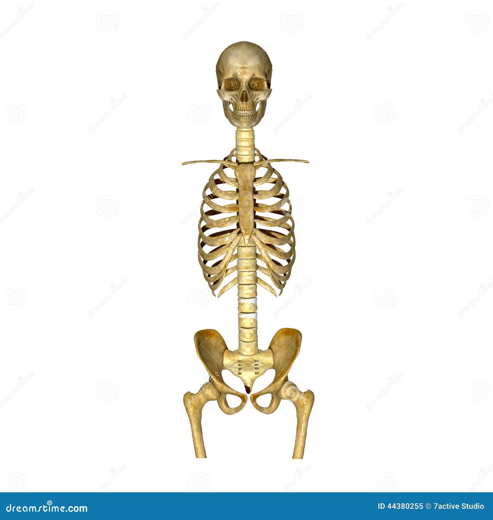 Scheletro: Cranio, costole, spina dorsale e osso iliaco