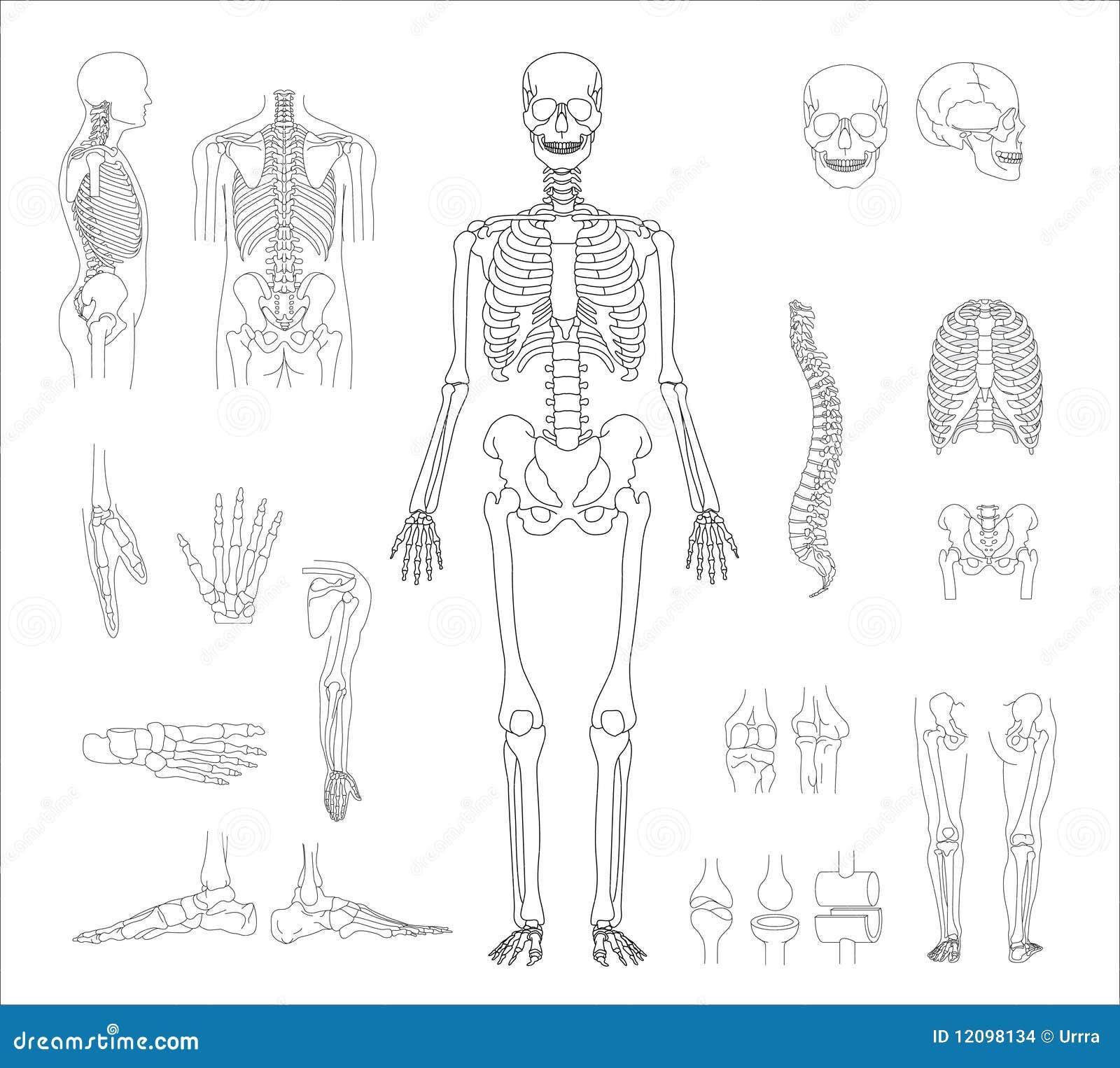 Scheletro umano immagini stock immagine 12098134 - Scheletro foglio da colorare ...