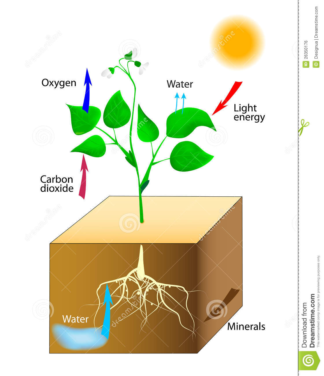 photosythesis in the The evolution of photosynthesis refers to the origin and subsequent evolution of photosynthesis, the process by which light energy synthesizes sugars from carbon dioxide, releasing oxygen as a waste product.