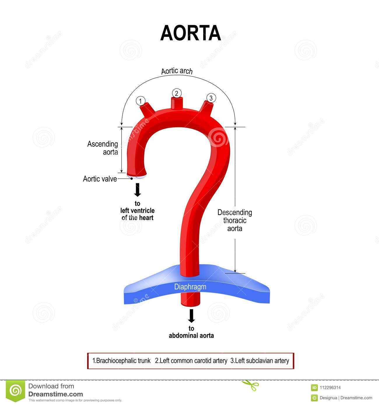 Schematic View Of The Aorta Segments Stock Vector - Illustration of ...