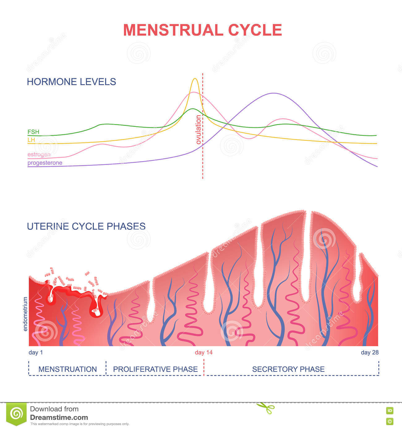Scheme of the menstrual cycle